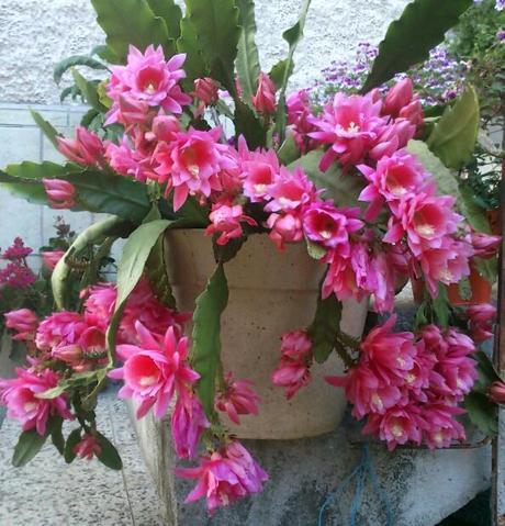 Rezy Epiphillum pink,