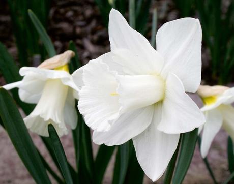 Narcisy biele - cibuľky,