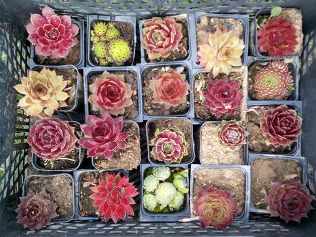 skalné ruže,