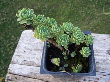 skalnička Sedum cristatum,