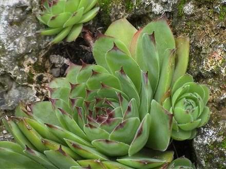 skalnička Sedum spurium ,