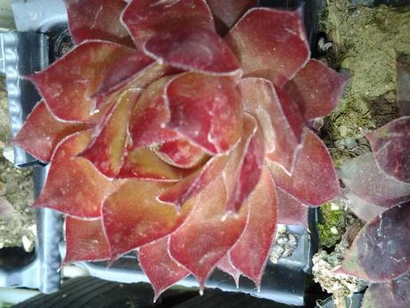 skalničky Sempervivum,