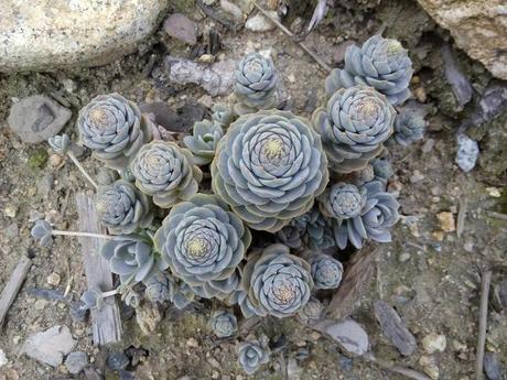 Orostachys šedý,