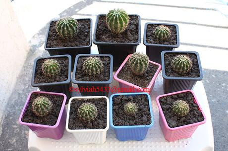 kaktus echinopsis eyriesii,