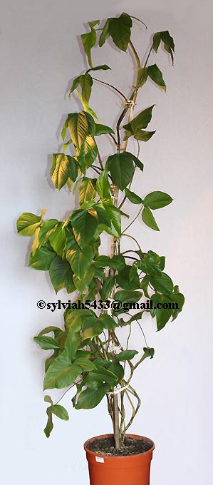 syngónium podophyllum,