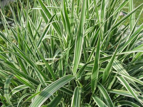 okrasná tráva ,