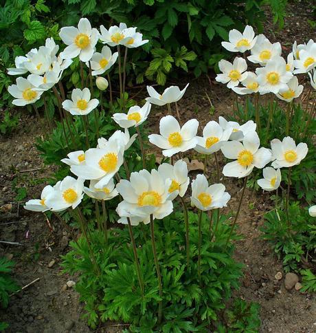 Anemone silvestris - sadeničky ,