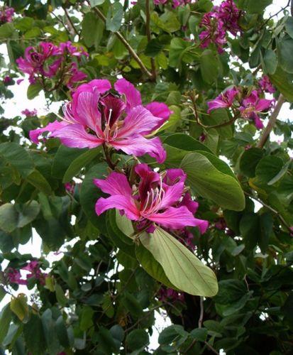 Bauhinia purpurea (Orchideový strom) - semená,