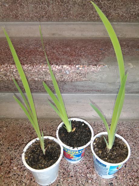 Belamcanda chinensis - semená,