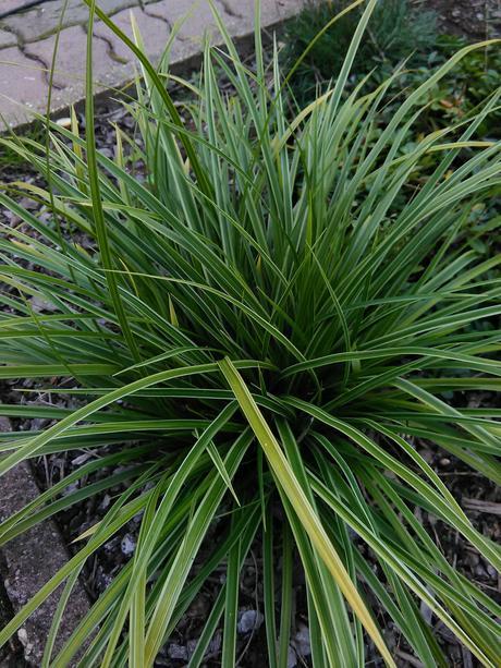 Carex morrowii variegata,