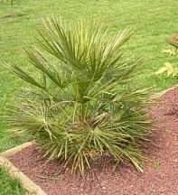 Chamaerops humilis - mrazuvzdorná (semená),
