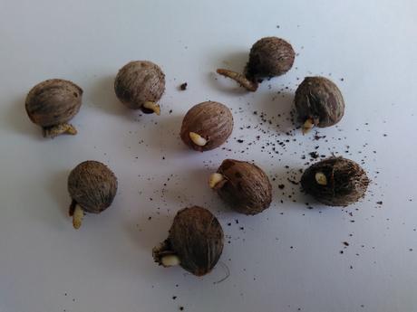 Chamaerops humilis - naklíčené semená,