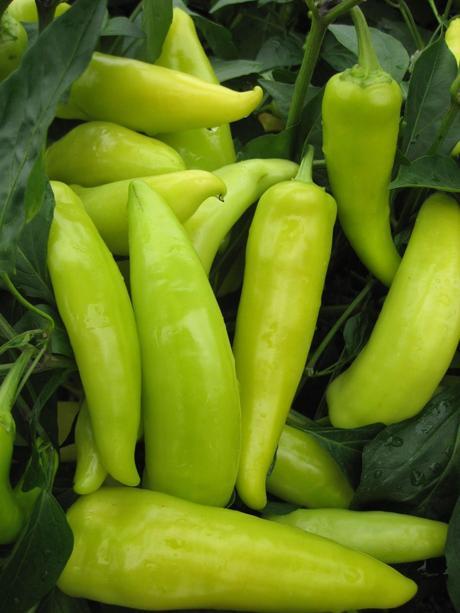 Chilli Hungarian Hot Wax - semená,
