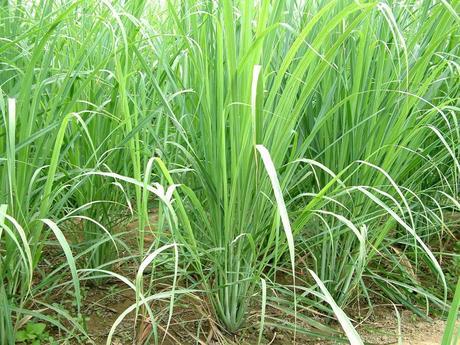 Citrónová tráva - semená,