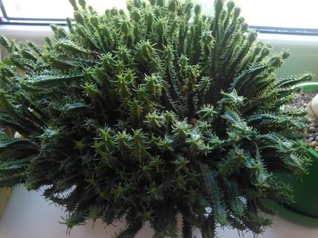 Euphorbia submammillaris ,