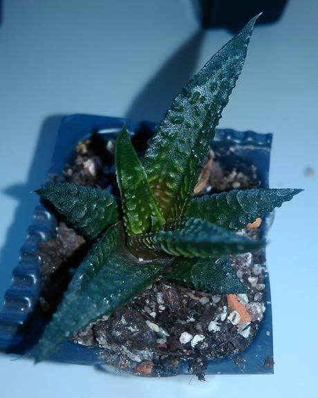 Haworthia - 6 druhov,