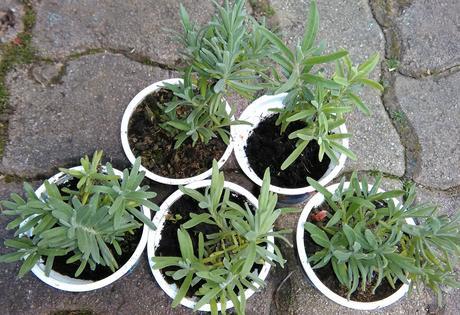 Levanduľa - sadeničky,