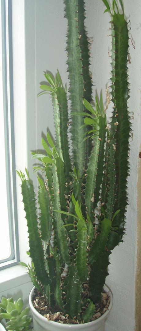 Prýštec (Euphorbia trigona),