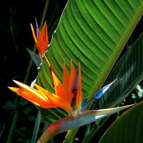 Strelitzia reginae - sadeničky,