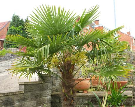 Trachycarpus fortunei - mrazuvzdorná (semená) ,
