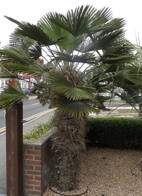 Trachycarpus wagnerianus - mrazuvzdorná (semená),