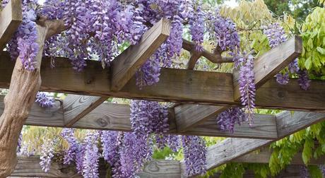 Wistéria čínska - fialková (semená),