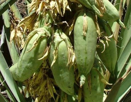 Yucca baccata var. baccata,