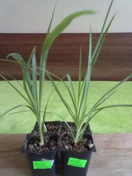 Yucca rostrata - mrazuvzdorná (semená),