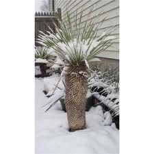 Yucca thompsoniana - mrazuvzdorná (semená),