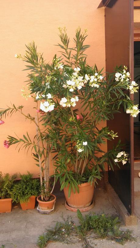 oleander,