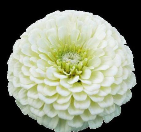 Cínia biela elegant,