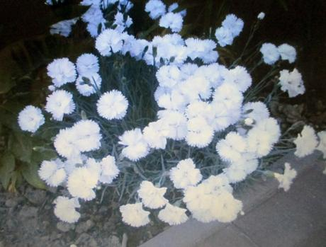 Klinček biely semienka,