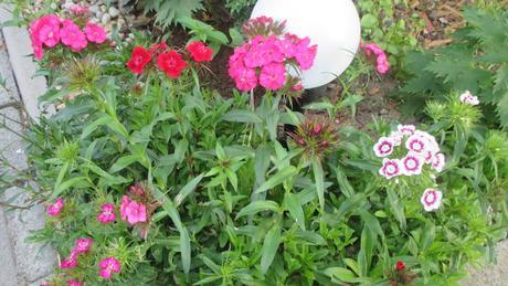 Klinček turecký zmes - semienka ,