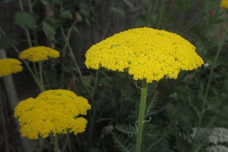 Rebríček žltý ,