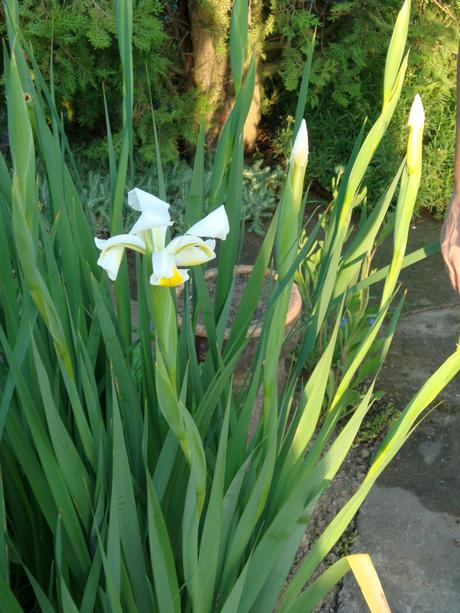 biely iris,