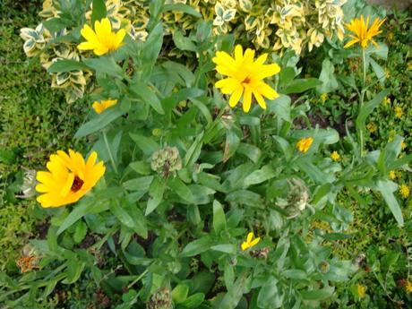 nechtík žltý aj oranžový-semienka,
