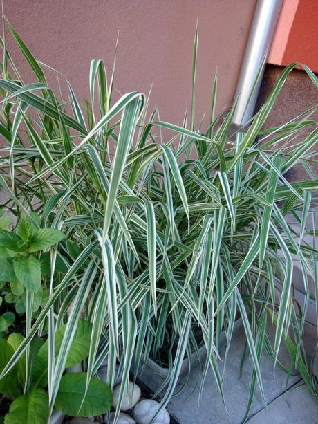 okrasná  tráva chrastnica trsteníková,