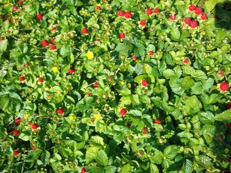 okrasné jahody-duchesnia indica,