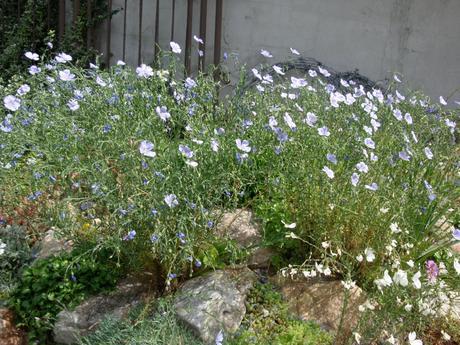 okrasný ľan semienka,