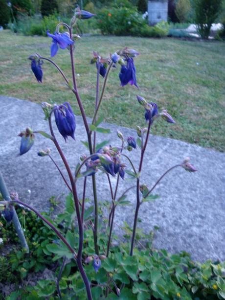 orlíček-semienka,