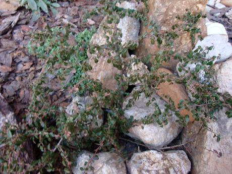 plazivý krík-skalník Cotoneaster,