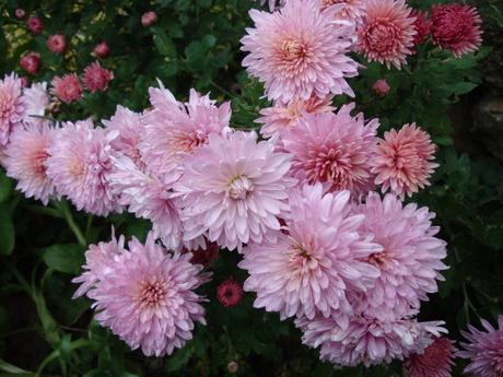 ružovo-fialové chryzantémy,