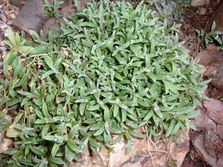 skalnička-rožec plstnatý,