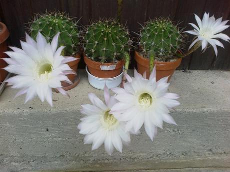Echinopsis,