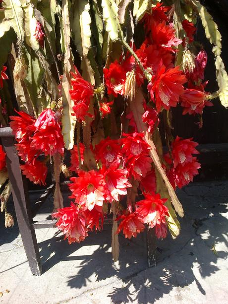 epiphyllum červený,