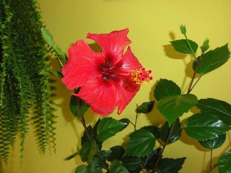 Čínska ruža /ibištek čínsky/,