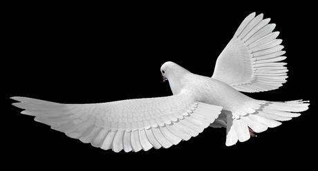 svatební holubi,