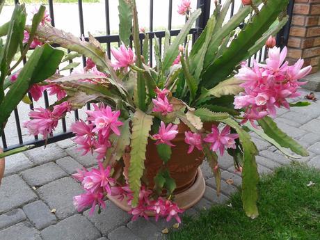 Kaktus epiphylum ružový,