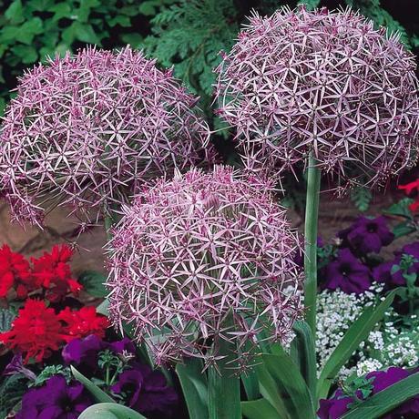 Allium albopilosum 3 ks,