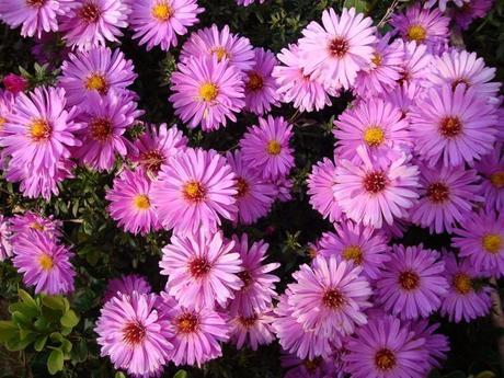 Astra nízka - ružová, fialová ,